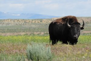 Shoshone Buffalo credit: National Wildlife Foundation, Jacob Byk