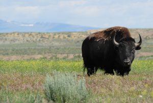 Shoshone Buffalo credit: National Wildlife Foundation, Jacob Byk